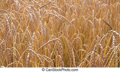 ripe wheat field view close up view
