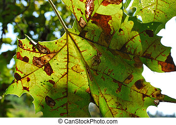 Platanus anthracnose - Leaf of Platanus with plant disease...