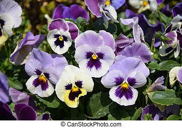 Light violet pansy - A bush of light violet pansy