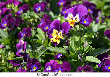Dark violet pansy - A bush of dark violet pansy