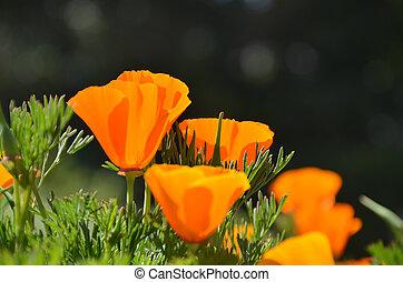 Orange opium - close up orange opium