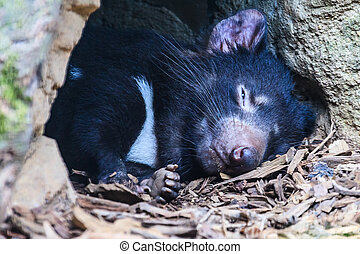 Tasmanian Devil - Close up of a sleeping Tasmanian Devil at...
