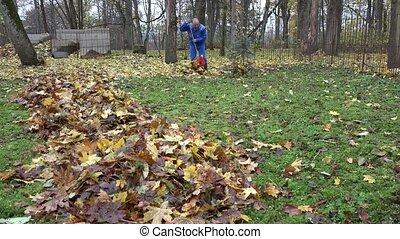 Male worker rake leaves falling from tree in backyard. 4K