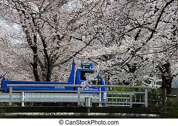 sakura, cerca, Tokio