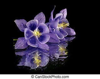 purple flower on the black background with water drops...