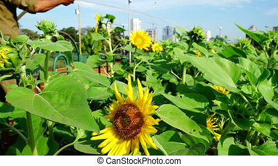 Watering sunflowers in urban garden.