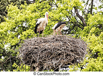 Family of White stork - Ciconia ciconia - in the nest,...