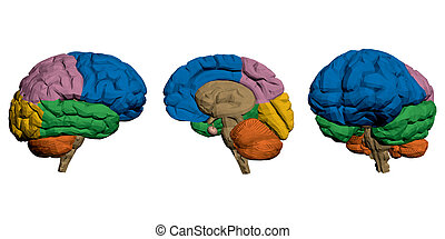 Brains - Vector illustration of a brain hemispheres...