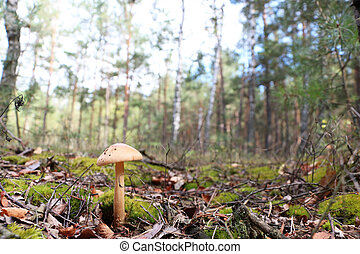 beautiful mushroom in the forest - The inedible mushroom...