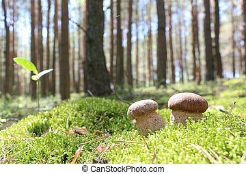 two white ceps wood moss - Two white ceps which grows in the...
