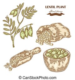 Hand drawn lentil plant Wooden scoop with beans Vector...