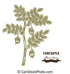 Hand drawn chickpea plant Vector illustration