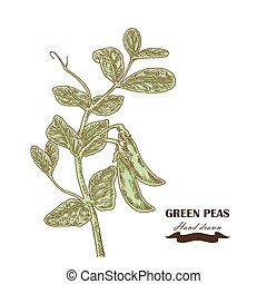 Hand drawn peas plant. Vector illustration in sketch style