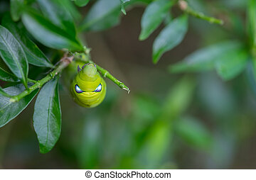 Close up Caterpillar, green worm is eating leaf Selective...