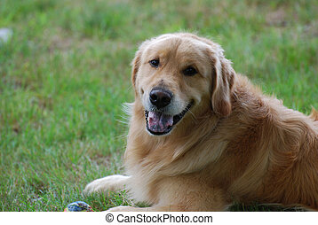 Happy Go Lucky Golden Retriever Dog - Smiling golden...