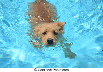 Golden Retriever Olympic Swimmer