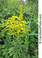 Canada goldenrod or Canadian goldenrod (Solidago canadensis)...