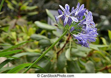 Flowers of the Agapanthus - Blue and white blooming flowers...