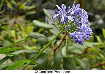 flores, de, el, Agapanthus