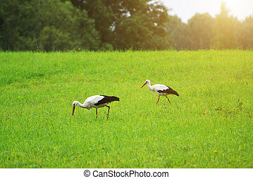 Two storks walking on the green field.