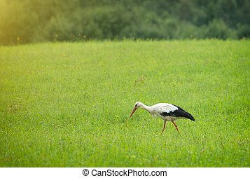 Stork walking on the green field