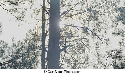 of pines trunks through the branches Sun slow motion video -...