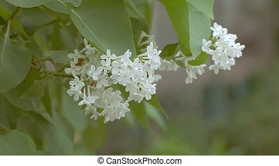 of white lilac branch slow motion video - seen closeup of...