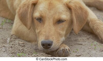 red dog napping slow motion video - red dog napping laid her...