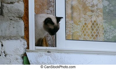 cat looks out the window slow motion video - Siamese cat...