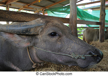 buffalo close up,a heavily built wild ox with backswept horns , found mainly in the Old World tropics.