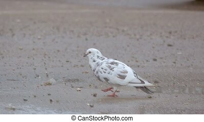 white dove walking on ground slow motion video - overcast...