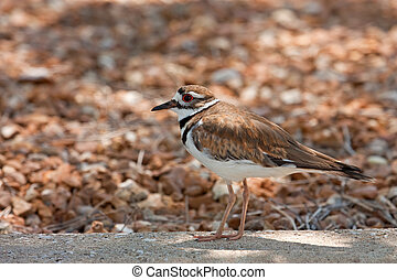 Killdeer, Charadrius vociferus, standing on concrete curb