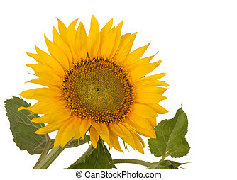Sunflower, Helianthus annuus, isolated on a white background
