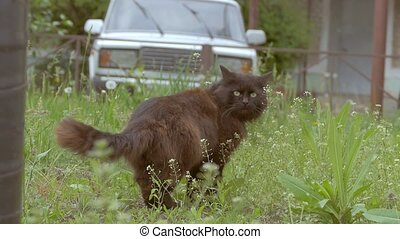 on the lawn of a black cat goes slow motion video - on the...