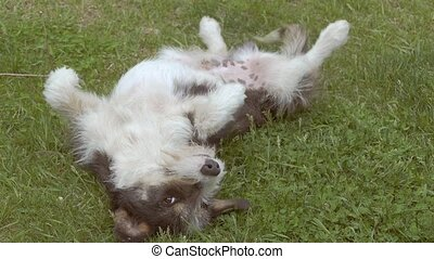 lawn lying on his back dog slow motion video - lawn lying on...