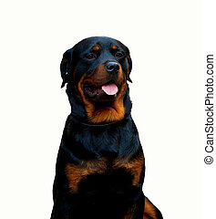 Rottweiler dog isolated on white background - Portrait of a...