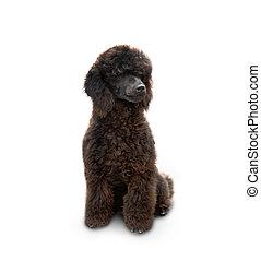 Poodle dog sitting isolated on white background.