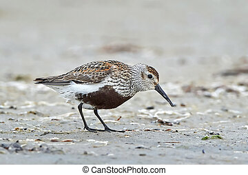 Dunlin Calidris alpina - Dunlin looking for food in sand in...