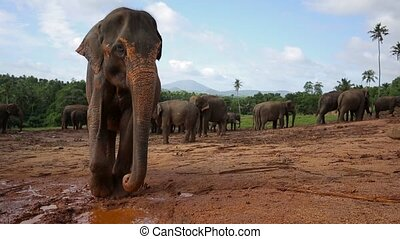 Group of wild elephants in Sri Lanka