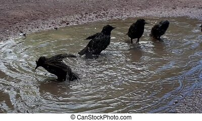 Birds bathing in the puddle