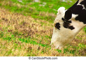Dairy cow on a hillside - A holstein dairy cow grazing...