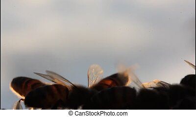 Bees in evening rays of sun - The hairs on the insects body...