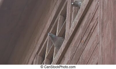 doves look out from the roof of slow motion video - curious...