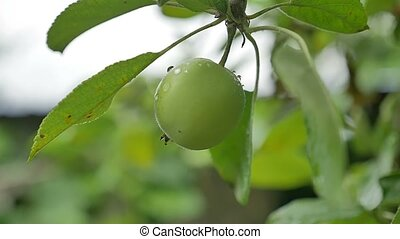 apple green hanging on a tree, dew drops water slow motion...