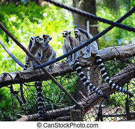 Lemur - Ring Tailed Lemur, Lemur Catta, And Her Baby