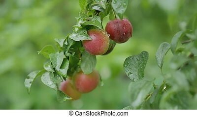 plums cherry-plum on the tree leaves and green nature background
