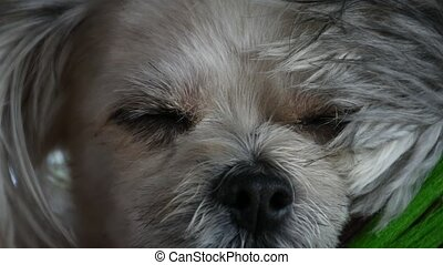 Dog so cute sleep - Dog so cute mixed breed with Shih-Tzu,...