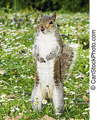 Gray Squirrel standing and watching - Eastern gray squirrel...