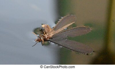 Macro of alate insect on water - Macro of alate (mayfly)...
