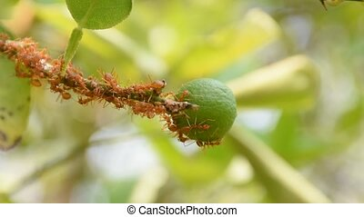 Red ants walking to the lemon fruit - Red ants from ant nest...